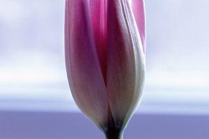Delicate rosebud tulip