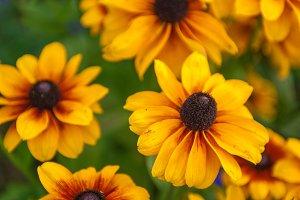Field of yellow flowers of orange
