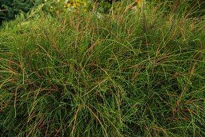 thuja occidentalis filiformis
