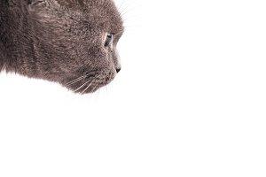 British Shorthair cat isolated on wh
