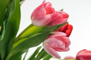 bouquet with pink and red tulips iso