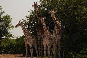 Giraffe family in Koure Giraffe Rese