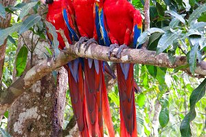 Parrots on the branch at Copan site,
