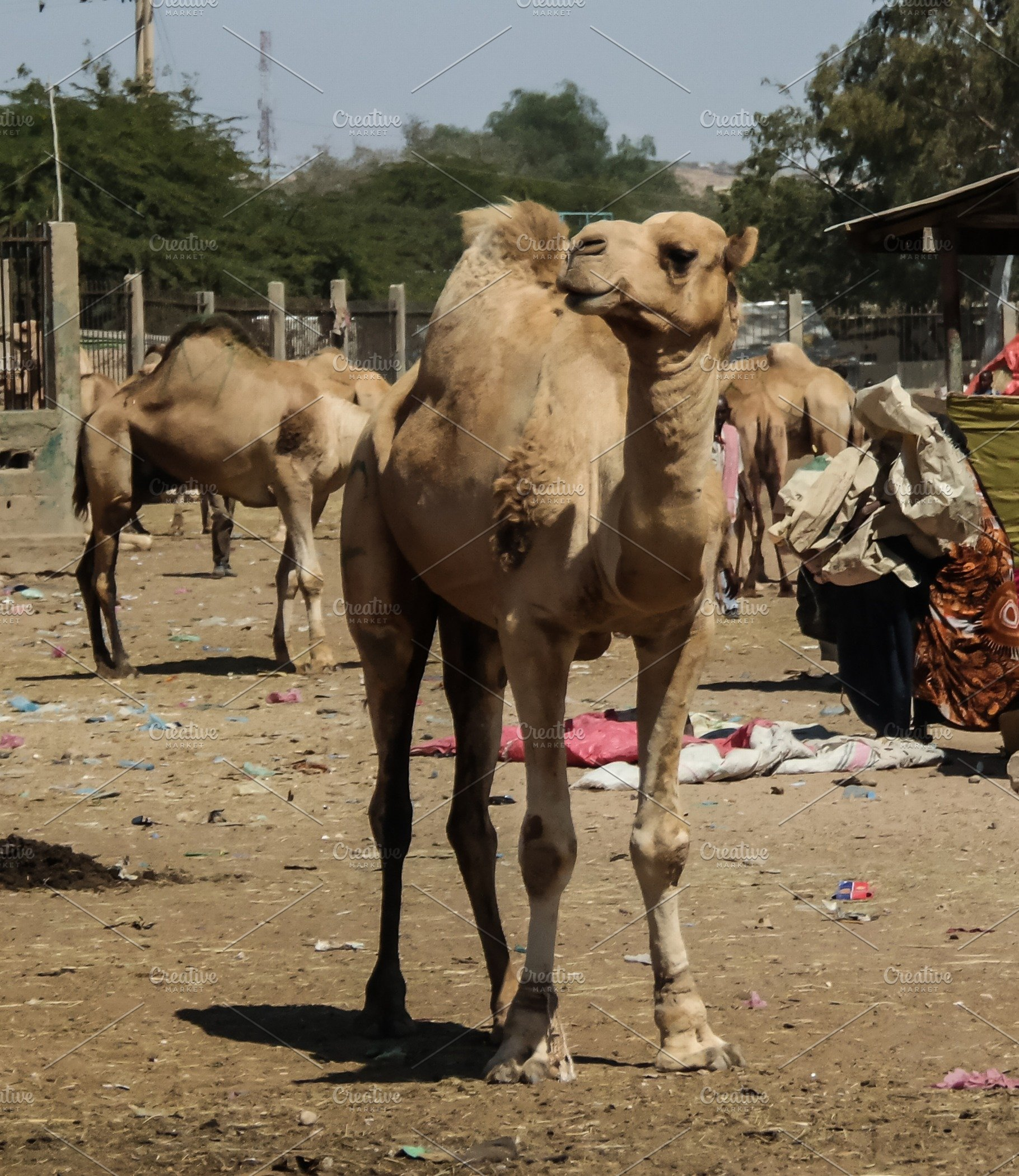 finest selection 1ad22 23ddc Camels in the camel market in Hargei