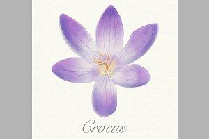 Violet watercolor crocus card
