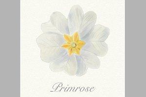 White watercolor primrose card