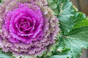 Ornamental cabbage of two colors I