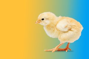 newborn yellow chicken on a colored