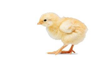 newborn yellow chicken on white
