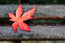 Red maple leaf with drops on a bench