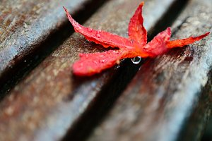 Wet red maple leaf on a bench