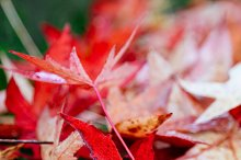 Red maple leaves and moss
