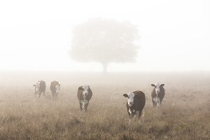Cows in morning fog