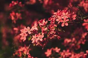 Red apple blossoms