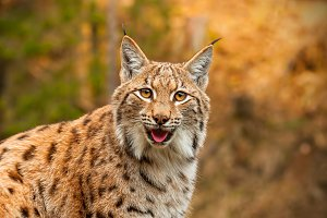 Adult Eurasian lynx in autumn forest