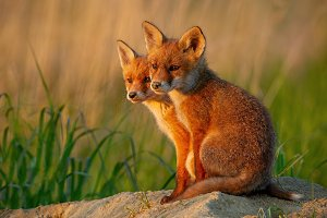 Red fox, vulpes vulpes, small young