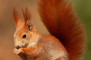 Eurasian red squirrel, sciurus