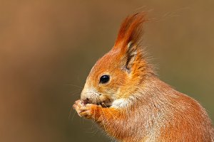 Portrait of Eurasian red squirrel