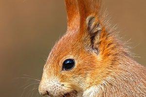 Portrait of Eurasian red squirrel