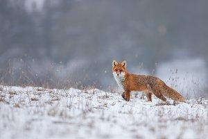 Red fox, vulpes vulpes, on snow in