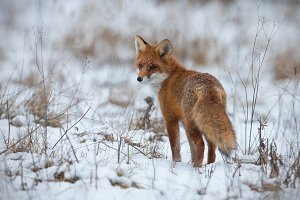 Red fox, vulpes vulpes, on snow in