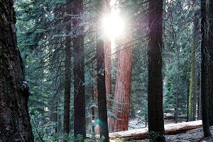 Sunshine in the forest, Sequoia NP