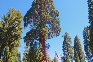 Giant Sequoia and American Flag