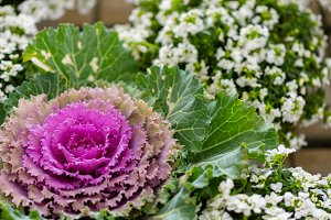 Ornamental cabbage of two colors II
