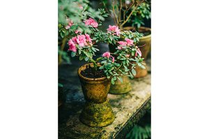 bushes blooming azaleas in old clay