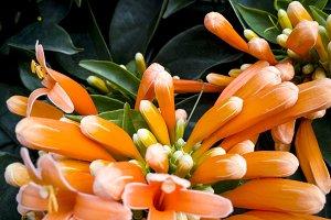 trumpet vine orange flowers