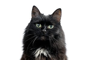 Head of black cat isolated on white