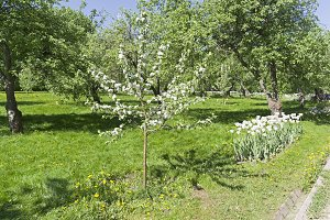 Young blooming apple tree