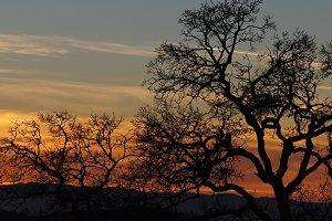Oak Tree Silhouette Panoramic Sunset