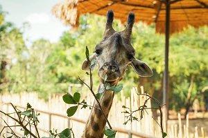 Giraffe eating leaves plant