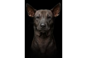 beautiful young thai ridgeback dog