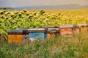 Beehives on a sunflower field
