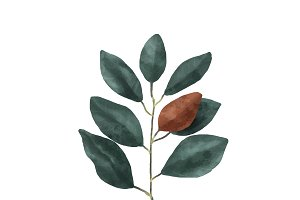 Illustration of Magnolia leaf
