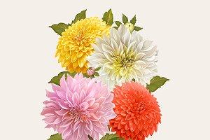 Beautiful dahlia flowering plant