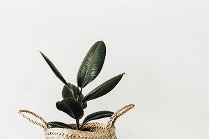 Ficus in straw basket
