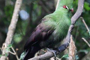 Guinea Turaco (Tauraco persa)