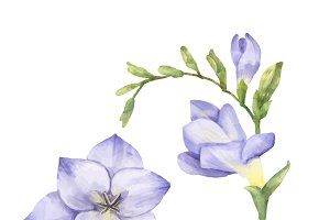 Illustration of Freesia flower