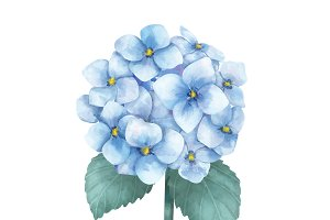 Illustration of Hydrangea flower