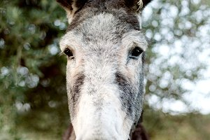 Funny portrait of a grey donkey l