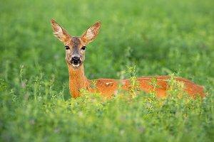Roe deer doe standing out on clover