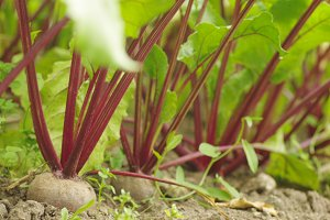 Homegrown beetroots bed