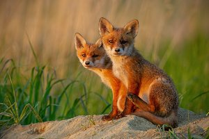 Red fox cubs at sunset curiously