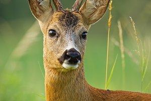 Detail of head of curious roe deer