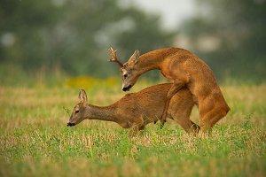 Roe deer couple copulating in