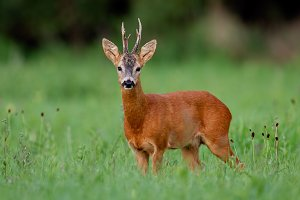 Roe deer buck on green meadow in