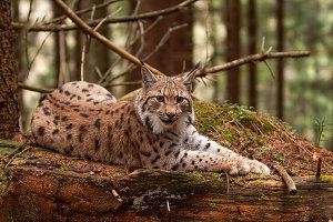 Eurasian lynx laying on fallen tree